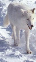 legende  du loup-blanc